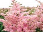 Astilbe-japonica-Peach-Blo