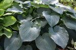 Hosta 'Blue Angel' 2